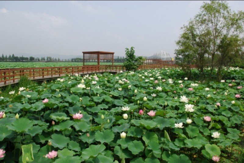 Muan white lotus festival trippose muan is the largest habitat of the white lotus flower in asia spanning 330000m2 in size while most lotus flowers are pink the lotus flowers in muan are mightylinksfo